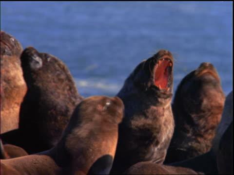 vídeos y material grabado en eventos de stock de sea lion yawning in group / patagonia, argentina - organismo acuático