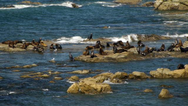 vidéos et rushes de hd des lions de mer le long de la côte de l'oregon - côte de l'oregon