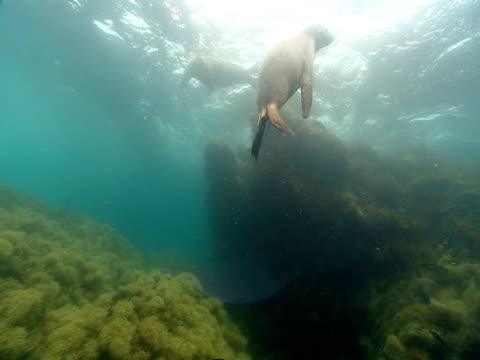 vídeos de stock, filmes e b-roll de sea lions and tropical fish swim over a coral reef near the surface of the ocean. - mamífero aquático