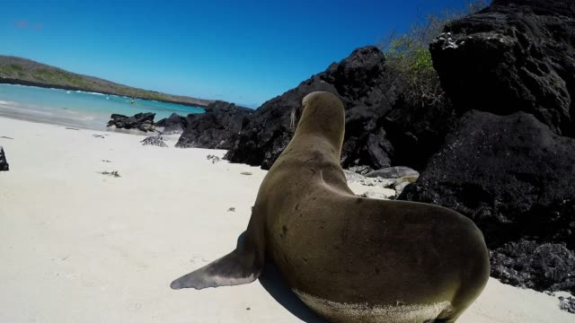 sea lions are entertaining animals that populate almost every beach in the galapagos islands they lie on the sand the rocks the grass and even on... - female with group of males stock videos & royalty-free footage