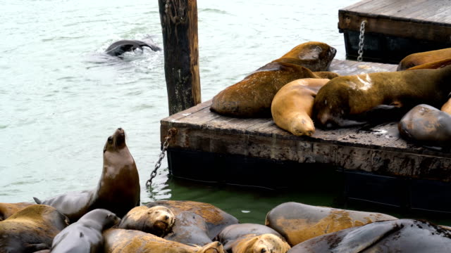sea lions at pier 39 playing around may 2018 san francisco , california - pier 39 san francisco stock videos & royalty-free footage
