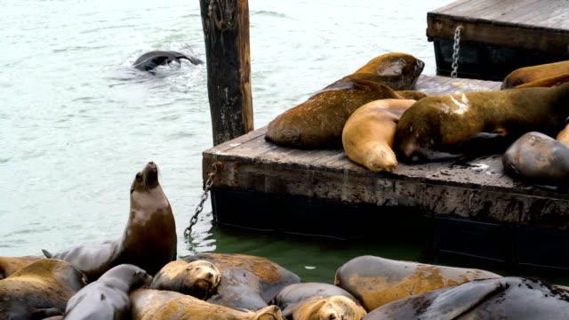 stockvideo's en b-roll-footage met zeeleeuwen op pier 39 stoeien kan 2018 san francisco, californië - pier 39