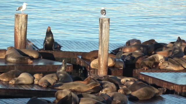 stockvideo's en b-roll-footage met zeeleeuwen bij pier 39 - pier 39