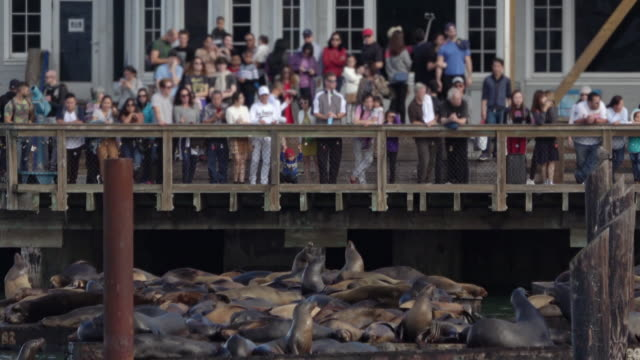stockvideo's en b-roll-footage met zeeleeuwen op san francisco-pier 39 fisherman's wharf - pier 39