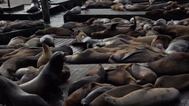 sea lions at san francisco pier 39 fisherman's wharf - pier 39 san francisco stock videos & royalty-free footage