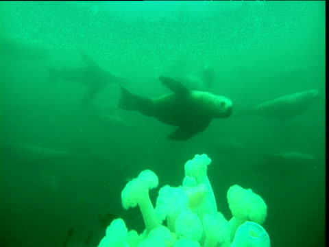 vídeos y material grabado en eventos de stock de sea lions emerge from gloom near sponges - mamífero acuático