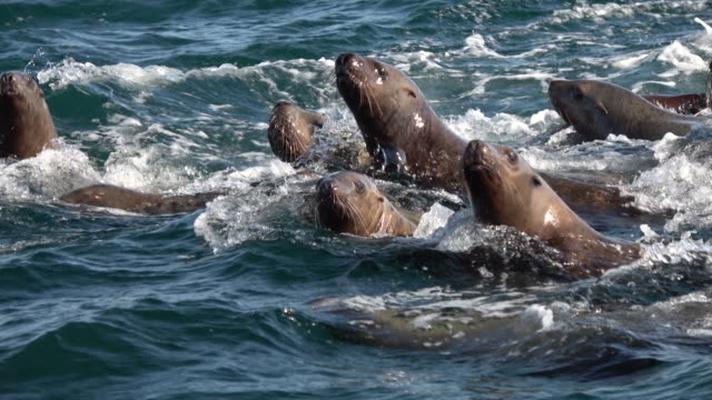 stockvideo's en b-roll-footage met sea lions flock to a tiny island, hokkaido, japan. - zeehond
