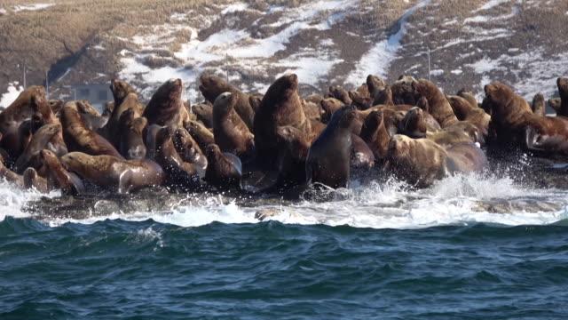 sea lions flock to a tiny island, hokkaido, japan. - アシカ点の映像素材/bロール
