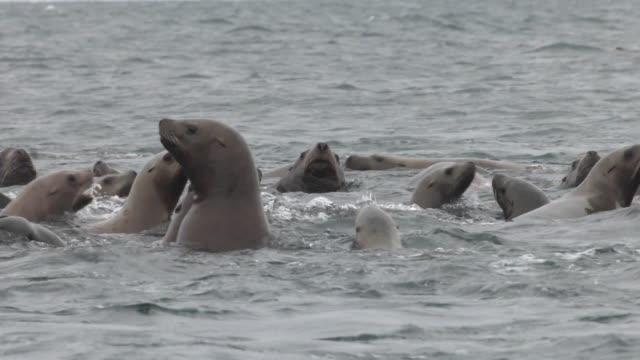 sea lions flock to a tiny island, hokkaido, japan. - robbe stock-videos und b-roll-filmmaterial