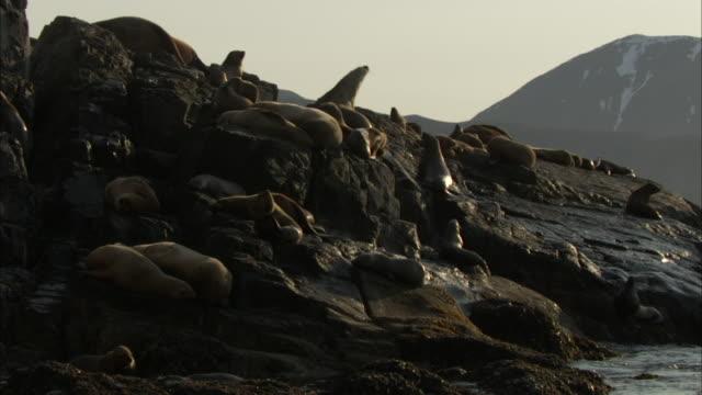 sea lions lie on rocks along a coastline. - アシカ点の映像素材/bロール