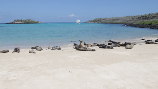 Sea Lions lying in the sand on the beach, turquoise water and tourist boat in the background, Santa Fe, Galápagos, Ecuador