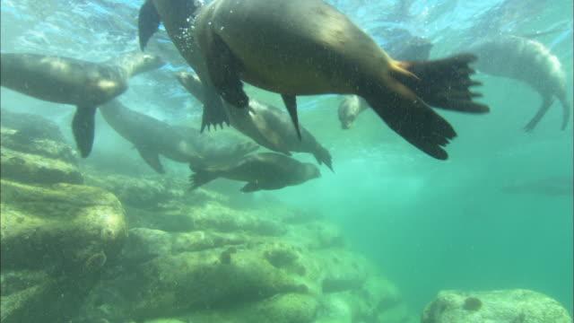 Sea Lions, nose to lens, Mexico