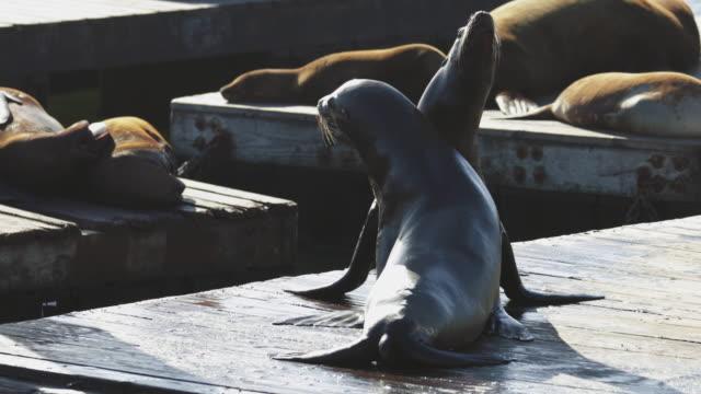 stockvideo's en b-roll-footage met zeeleeuwen van san francisco op pier 39 - pier 39