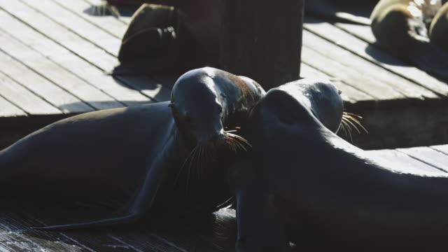 sea lions of san francisco at pier 39 - pier 39 san francisco stock videos & royalty-free footage