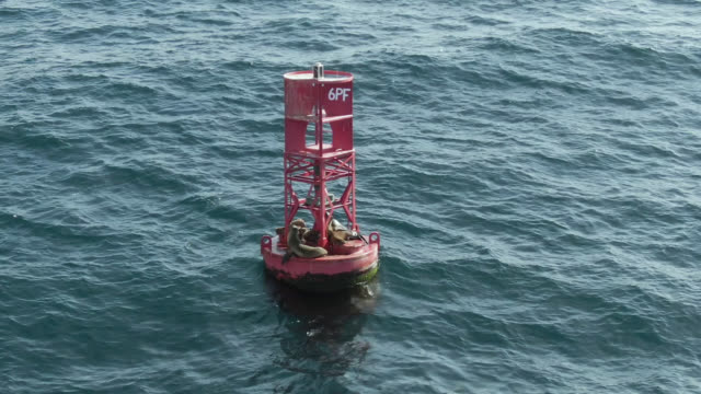 sea lions on buoy - aquatic mammal stock videos & royalty-free footage