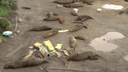 Sea Lions on Polluted California Beach Garbage