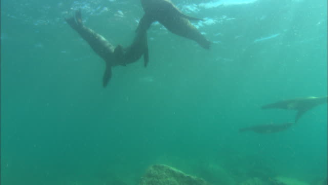 sea lions, on surface over camera looking up. mexico  - gruppo medio di animali video stock e b–roll