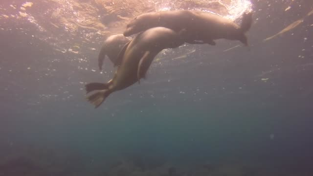 sea lions perform for divers at galapagos islands - wassersäugetier stock-videos und b-roll-filmmaterial