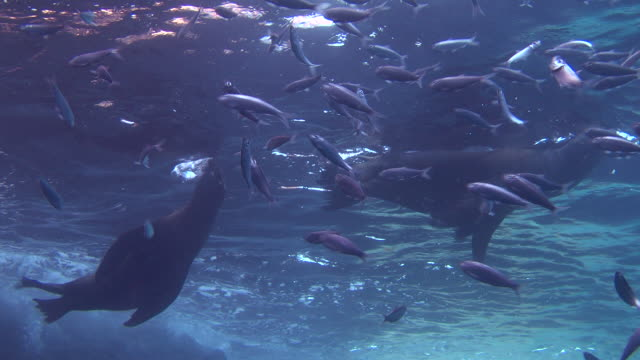 sea lions play in the sea of cortez. - sea of cortez stock videos & royalty-free footage