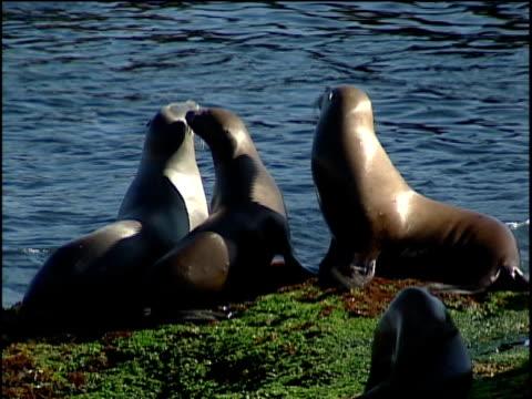 vidéos et rushes de cu, sea lions resting on rocky ocean shore - quatre animaux
