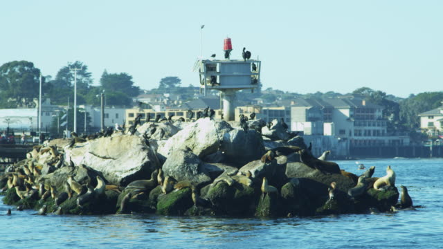 sea lions rocks aquatic mammal monterey harbour california - aquatic mammal stock videos & royalty-free footage