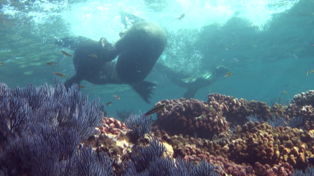 sea lions swim around corals. - sea lion stock videos & royalty-free footage