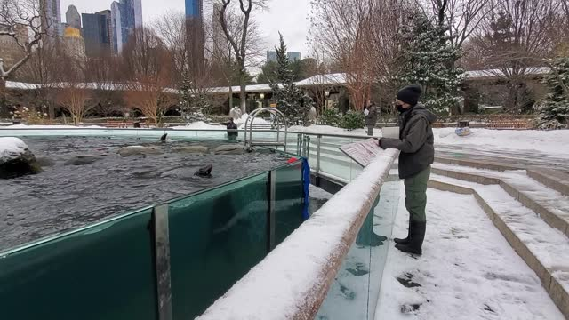 sea lions swim during a snow fall at central park zoo on february 18, 2021 in new york city. - セントラルパーク動物園点の映像素材/bロール
