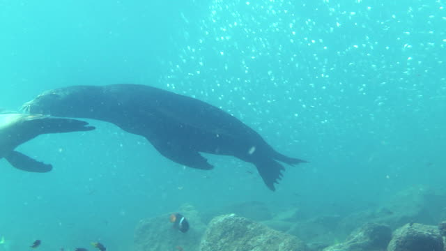 Sea lions swim over a rocky seabed.