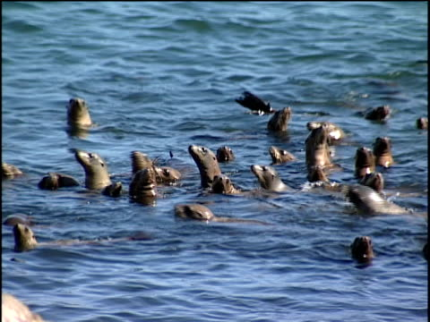 stockvideo's en b-roll-footage met zo, ms, ha, sea lions swimming in ocean near rocky shore - noordelijke grote oceaan