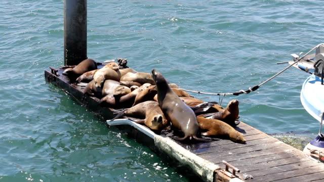 vidéos et rushes de lions de mer - faire un somme