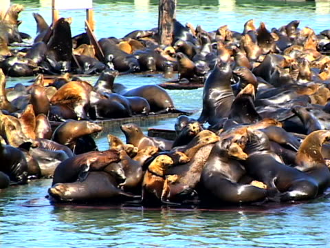 stockvideo's en b-roll-footage met sea lions - pier 39