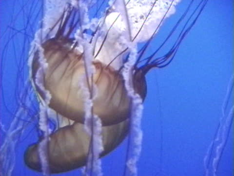 MS PAN Sea nettle jellyfish swimming / USA