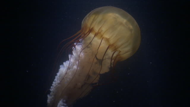sea nettle jellyfish (chrysaora fuscescens) trails tentacles in dark water, pacific ocean - nettle stock videos & royalty-free footage