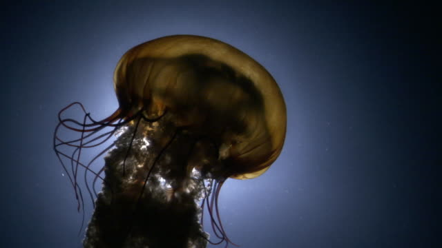 Sea nettle jellyfish (Chrysaora fuscescens) trails tentacles in dark water, Pacific Ocean