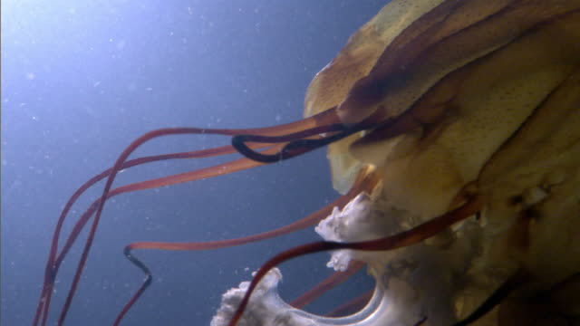 sea nettle jellyfish (chrysaora fuscescens) trails tentacles in dark water, pacific ocean - qualle stock-videos und b-roll-filmmaterial