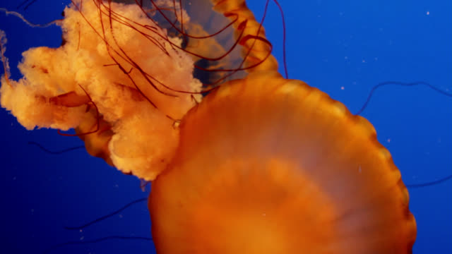 sea nettle jellyfish - nettle stock videos & royalty-free footage
