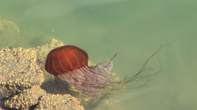 ms sea nettle (chrysaora) swimming in yaquina bay / newport, oregon, usa - newport oregon stock videos & royalty-free footage