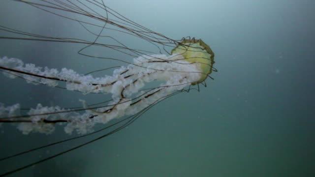 sea nettle - tentacle stock videos & royalty-free footage