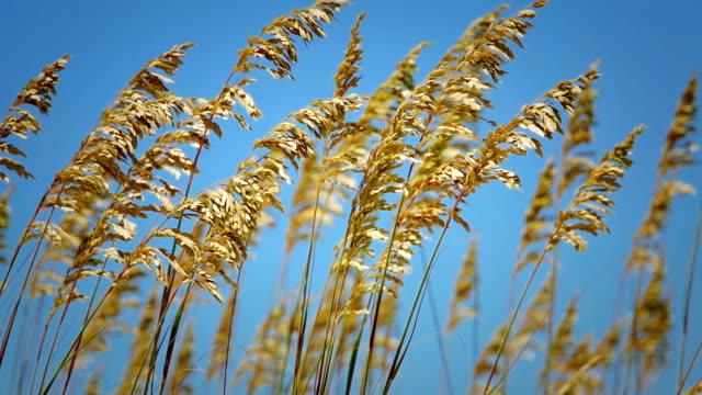 sea oats on the atlantic - atlantic beach north carolina stock videos & royalty-free footage