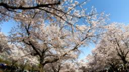 Sea of blooming cherry blossom sakura in Expo '70 Commemorative Park.