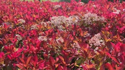 Sea of red leaves and white flowers of Photonia in the park of Canterac, Valladolid, Spain