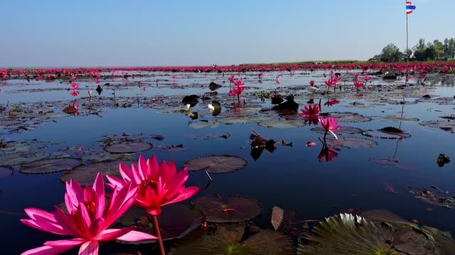 sea of red lotus lake, thailand - lotus position stock videos & royalty-free footage