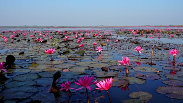 sea of red lotus lake, thailand - lotus position stock videos and b-roll footage