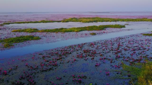 stockvideo's en b-roll-footage met zee van rode lotus lake, thailand - in kleermakerszit