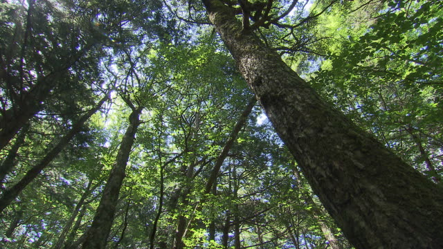 sea of trees in aokigahara, japan - tree trunk stock videos & royalty-free footage