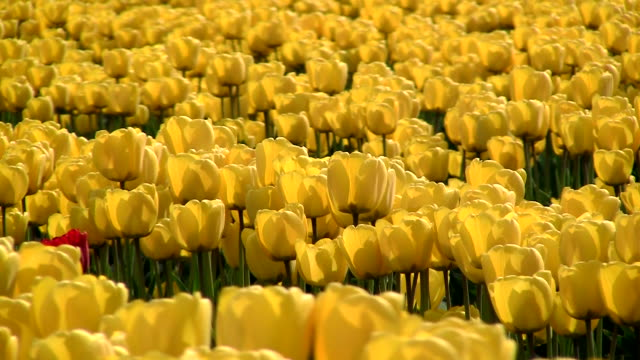 sea of tulips - plant bulb stock videos & royalty-free footage