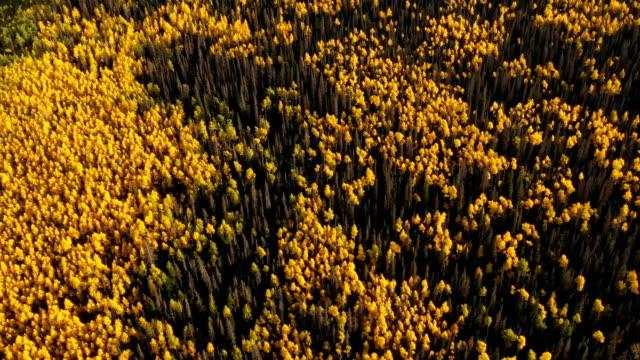 夕暮れ時の黄色いアスペンスと松の海 - ハイコントラスト点の映像素材/bロール