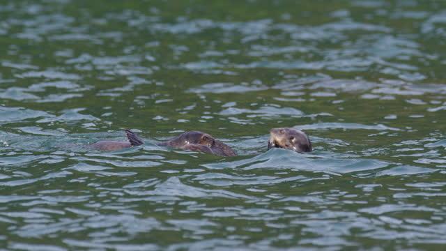 vídeos y material grabado en eventos de stock de sea otter and large pups play together in sea - grupo pequeño de animales