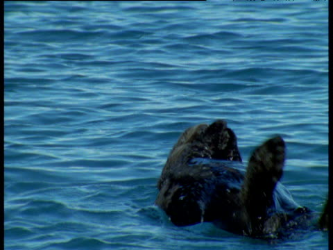 sea otter bobs on its back, rolls over and rubs its face, alaska - tier rücken stock-videos und b-roll-filmmaterial