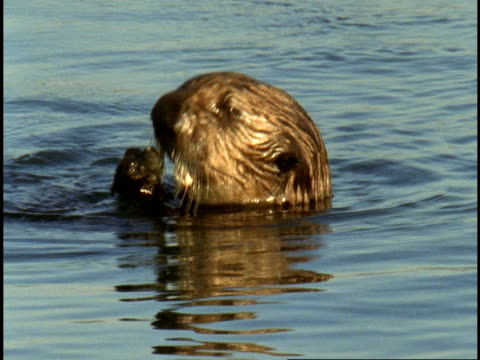 A sea otter chews on shellfish and dives for more food in Monterey Bay.
